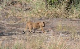 Leonessa nella regione selvaggia dei masai Mara, Kenya Fotografia Stock