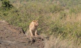 Leonessa nella regione selvaggia dei masai Mara, Kenya Fotografia Stock Libera da Diritti