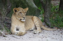 Leonessa - praterie di Serengeti Fotografia Stock Libera da Diritti