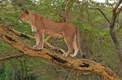 Leonessa su Mara masai Fotografia Stock Libera da Diritti