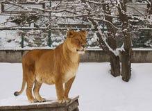 Leonessa in zoo Fotografie Stock Libere da Diritti