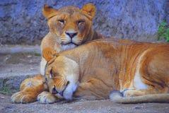 Leonesse africane Tonia della savana & lory Fotografie Stock