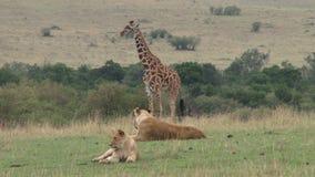 Leonesse e giraffa video d archivio