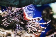 Leonfish tropical Fotos de archivo libres de regalías