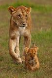 leoni Immagini Stock Libere da Diritti
