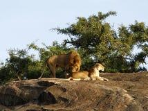 Leoni africani Fotografie Stock