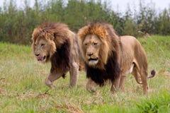 Leoni africani selvaggi Immagine Stock Libera da Diritti