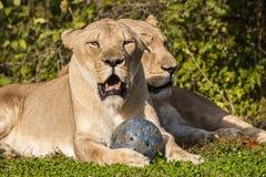 Leoni africani su erba con la palla Immagini Stock