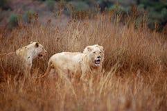 Leoni bianchi Fotografie Stock