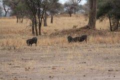 Leoni che cercano i facoceri nella savanna Immagine Stock Libera da Diritti