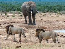 Leoni che inseguono elefante Immagini Stock