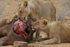 Leoni che mangiano bufalo Fotografia Stock Libera da Diritti