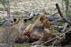Leoni che mangiano la loro preda dopo una notte di caccia nella savanna Immagine Stock Libera da Diritti