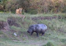 Leoni che osservano un Hippopatamus Fotografia Stock Libera da Diritti