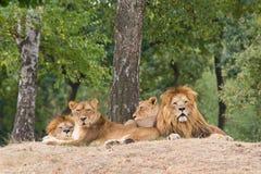 Leoni che riposano sotto un albero fotografia stock libera da diritti