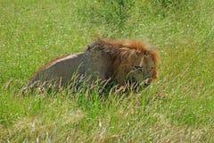Leoni che si accoppiano al parco nazionale di Kruger Immagine Stock