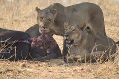 Leoni con un'uccisione Fotografia Stock Libera da Diritti
