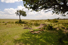 Leoni dei masai Mara 3 Fotografia Stock Libera da Diritti