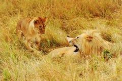 Leoni di Mara del Masai Fotografie Stock