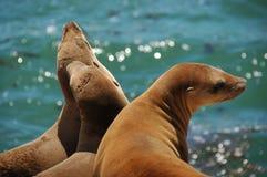 Leoni di mare Immagini Stock
