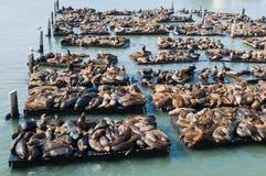 Leoni di mare Fotografia Stock Libera da Diritti