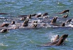 Leoni di mare Immagine Stock