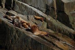 Leoni di mare Fotografie Stock