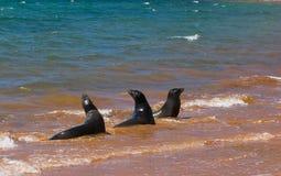 Leoni di mare Immagini Stock Libere da Diritti