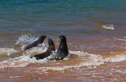 Leoni di mare Fotografia Stock