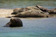 Leoni di mare australiani Fotografie Stock