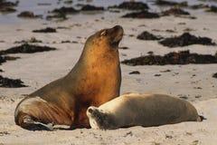 Leoni di mare australiani fotografie stock libere da diritti