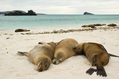 Leoni di mare del Galapagos Fotografia Stock Libera da Diritti
