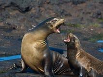 Leoni di mare del Galapagos Immagine Stock Libera da Diritti