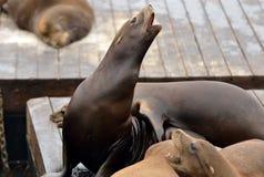 Leoni di mare del pilastro 39 di San Francisco Fotografie Stock Libere da Diritti