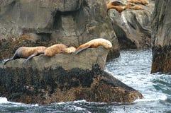 Leoni di mare dell'Alaska Fotografie Stock