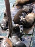 Leoni di mare della California immagini stock libere da diritti