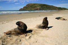 Leoni di mare di Catlins fotografia stock libera da diritti