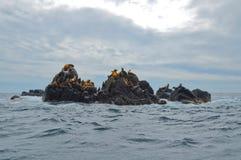 Leoni di mare di Steller Fotografia Stock Libera da Diritti