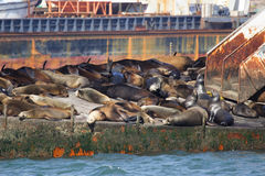 Leoni di mare, Ensenada Fotografie Stock