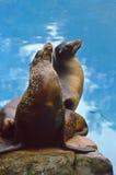 Leoni di mare nordici (jubatus del Eumetopias) Fotografia Stock Libera da Diritti