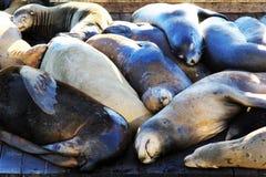 Leoni di mare a San Francisco Fotografia Stock