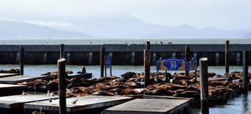 Leoni di mare a San Francisco Immagini Stock Libere da Diritti