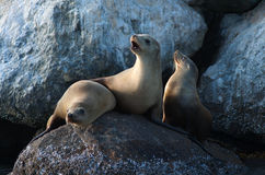 Leoni di mare selvaggi Fotografie Stock Libere da Diritti
