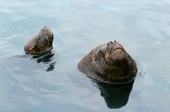 Leoni di mare sudamericano Fotografie Stock