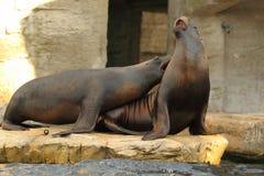 Leoni di mare sudamericano Fotografia Stock