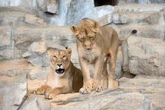Leoni in giardino zoologico immagini stock libere da diritti