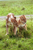 Leoni, Maasai Mara Game Reserve, Kenya Immagine Stock Libera da Diritti