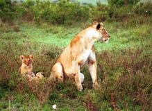 Leoni, Maasai Mara Game Reserve, Kenya Immagini Stock Libere da Diritti