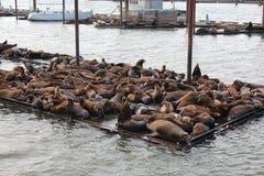 Leoni marini Immagini Stock Libere da Diritti
