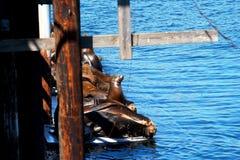 Leoni marini Fotografia Stock